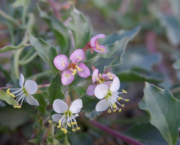 Camissonia boothii var. villosa