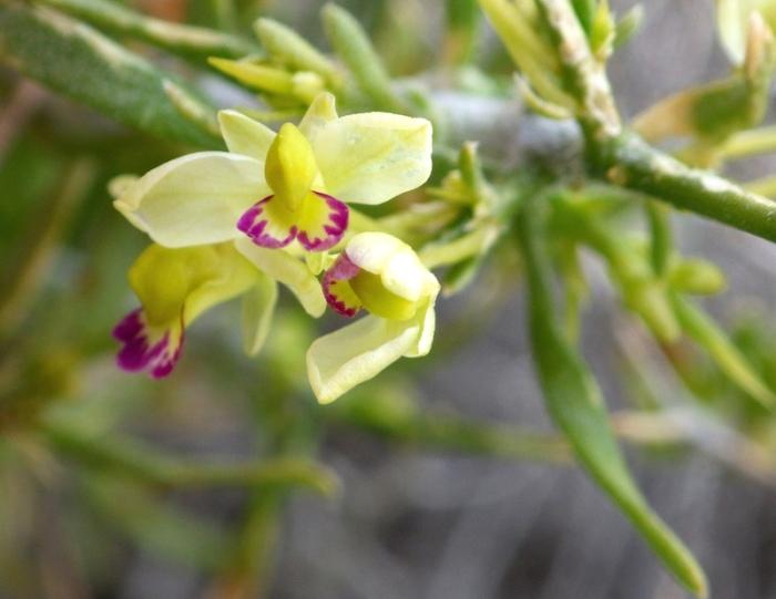 Polygala acanthoclada var. intricata