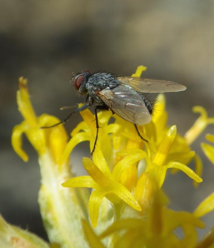 Poop fly on Tetradymia glabrata