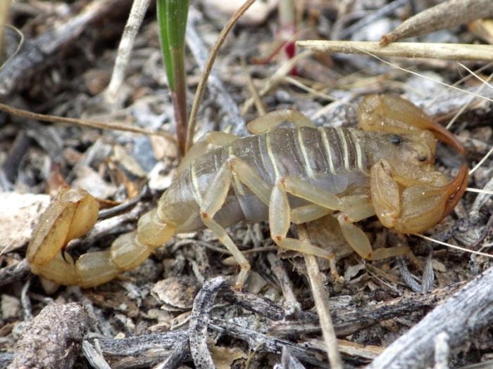 Paruroctonus boreus