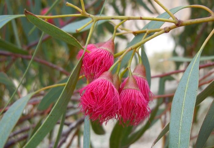 Eucalyptus leucoxylon 'Rosea' Flowers Springs Preserve, NV JWB12